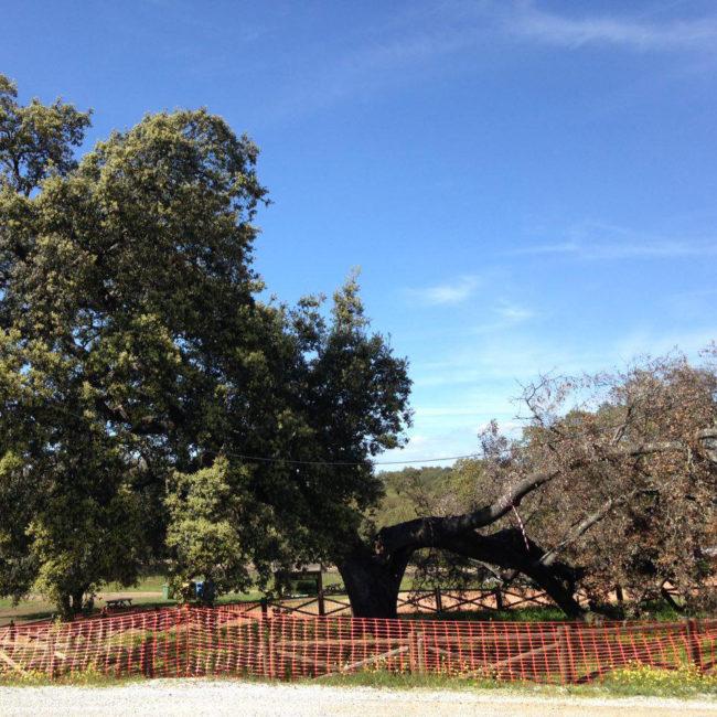 Trabajos de adecuación y estabilización de árbol singular: La encina de la Romería