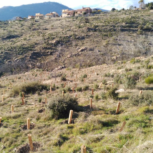 Reforestación del área incendiada en el Monte de Santa Catalina, en Robledo de Chavela (Madrid). Año 2016-2017 (en activo)