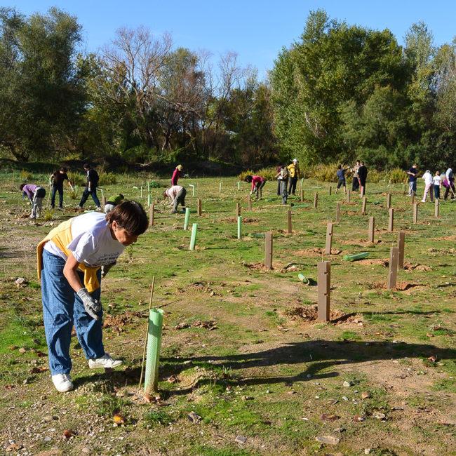 Reforestación del bosque fluvial del Río Henares en Azuqueca de Henares (Guadalajara). Año 2014