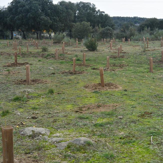 Reforestación del entorno embalse de Valmayor, Parque Regional del Curso Medio del Guadarrama, en Galapagar (Madrid) Año 2015.